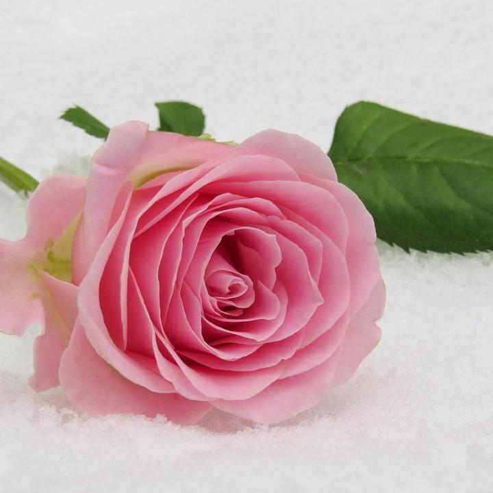 Motiv Rose